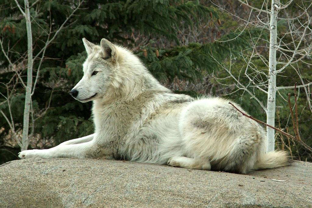 Birth Control - Wolf